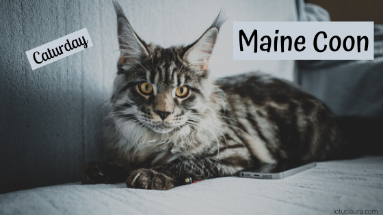 Caturday ~ Maine Coon